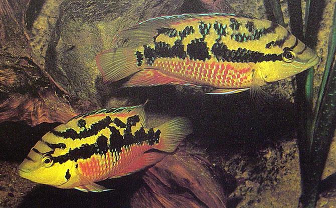 Cichlasoma salvini (Salvini Cichlid)
