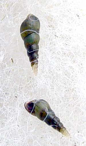 fressen botia lohachata schnecken